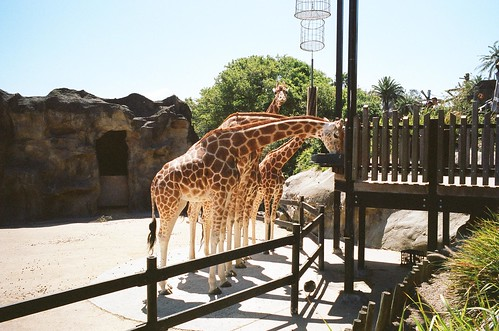One Curious Giraffes [11/12]
