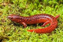 Northern Red Salamander (Pseudotriton ruber ruber) (John P Clare) Tags: ohio red orange green moss amphibian salamander spotted comparison newt blackspots pseudotriton northernredsalamander pseudotritonruberruber
