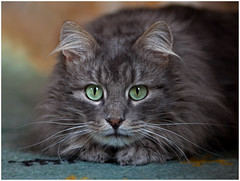 Know what ? It's 2014 ! (FocusPocus Photography) Tags: cat feline chat kitty greeneyes gato rug katze kater teppich fynn longhaired grneaugen langhaarkatze fynnegan