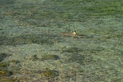Blacktip Shark in Persian Gulf off Kish Island, Iran (Persia) (eshare) Tags: sea coral shark iran gimp persia kish sharks  persiangulf   kishisland  hormozgan    coralislands blacktipshark    shallowwaters   hormozganprovince carcharhinuslimbatus  dphdr sal70300g   sonyalphadslra900 sony70300mmf4556gssm  sony70300mmf4556gseriestelephotozoomlens 70300 900 blacktipsharkcarcharhinuslimbatus  kishcoralisland  smoothtoothblacktipshark smoothtoothblacktipsharkcarcharhinusleiodon carcharhinusleiodon