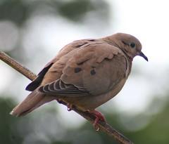 Eared Dove (jpotto) Tags: birds dove tobago eareddove