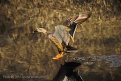 Mallard's Figure Skating (Johnnie Shene Photography(Thanks, 1Million+ Views)) Tags: macro bird birds animal animals canon lens eos rebel fly flying duck kiss moments zoom teal