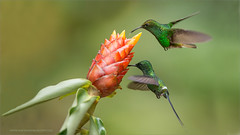 Coppery-headed and Green Thorntail (Raymond J Barlow) Tags: travel red green costarica hummingbird wildlife adventure phototours raymondbarlowphototours