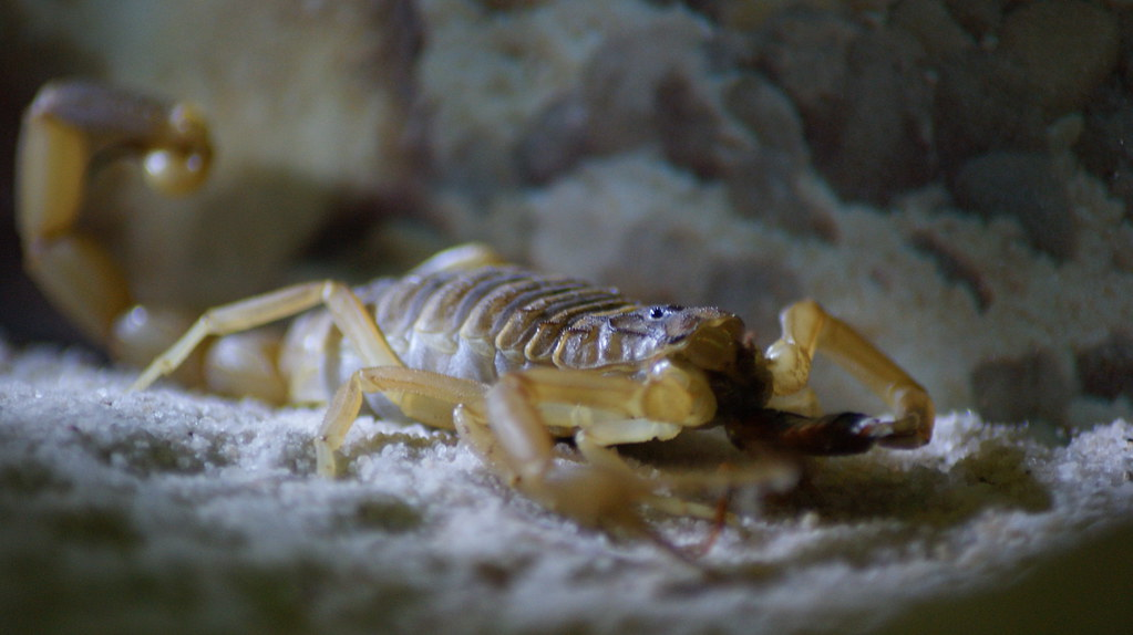 The World's Best Photos of deathstalker and scorpion
