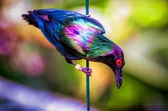Riot (Light Echoes) Tags: winter bird philadelphia zoo nikon starling aviary february topaz philadelphiazoo 2014 d90 metallicstarling topazclean topazsimplify