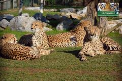 gherpardi (lecornelle) Tags: park parco zoo foto felino cheetah leonardo bergamo velocità fotografo ghepardi naturaviva ghepardo cornelle parcofaunistico parconatura zoocornelle leonardodelfini zooitalia zoolombardia