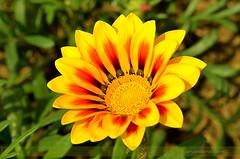 Gazania-Sunshine (ArvinderSP) Tags: yellow closeup spring 522 2014 natureupclose arvinder gazaniaflower nikon28105f3545d nikond7000 arvindersp arvinderspcom gazaniasunshine