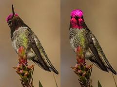 Anna's Hummingbird Iridescence (Laura Erickson) Tags: california annashummingbird calypteanna
