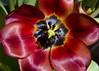Tulip (Stephen Whittaker) Tags: flower detail macro nikon focus close pov sharp stamen tulip pollen d5100 whitto27