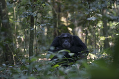 Kibale Chimp (jimmiebohman) Tags: forest monkey nikon wildlife safari chimpanzee uganda d800 kibale