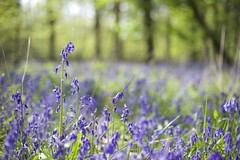 Perfect Bluebell (Julia Revitt) Tags: flowers bluebells 50mm nikon ashridge d610