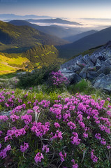 Rhododendron (Kotenko_A) Tags: flowers summer mountains rhododendron carpathians