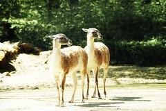 Guanacos (Vlachbild) Tags: nature animal mammal europe minolta natur luxembourg naturephotography guanaco bettembourg outdoorphotography minoltaaf20028apo sonyslta99