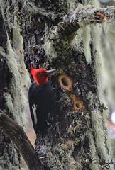 Campephilus magellanicus (Gustavo Nudo (Guslight)) Tags: chile parque bird birds nikon ave gus nacional avian araucarias carpintero plumas conguillio araucania pajaroloco campephilusmagellanicus guslight plumifero gustavonudo