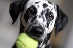 Geliebter Kong-Tennisball (blumenbiene) Tags: dog playing game dogs female fun hund dalmatian hunde spiel spielen dalmatiner hündin hundespiel
