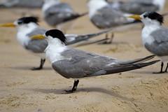 Bunga beach, New South Wales (chabalmathias) Tags: bird beach australia newsouthwales plage australie oceania nikond3200 oceanie nikkor1855mmf3556 australianbeaches nikkor55300mmf4556 bungabeach plageaustralien