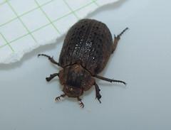 Trogidae>Omorgus? Hide beetle DSCF6550 (Bill & Mark Bell) Tags: exmouth westernaustralia australia geo:town=exmouth geo:state=westernaustralia geo:country=australia geo:lon=11425453egeolat2217752sgeoalt8m 11425453e2217752salt8m taxonomy:kingdom=animalia animalia taxonomy:phylum=arthropoda arthropoda taxonomy:class=insecta insecta taxonomy:order=coleoptera coleoptera taxonomy:family=trogidae trogidae taxonomycommonnamehidebeetle hidebeetle insect animal fauna beetle