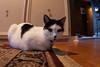 Indoor (Phil Roeder) Tags: blackandwhite cat iowa rug desmoines persianrug canon15mmf28