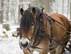 Krning med hst i Apladalen Vrnamo Sweden (StefanOlaison) Tags: winter horse caballo vinter sweden forestry invierno sverige pferd suecia hst vrnamo apladalen skogsbruk trabajoforestal