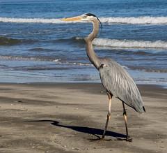 Great Blue Heron - Texas Coast (Cooke Photo) Tags: bird heron texas birding beak greatblueheron wildbirds texascoast coastalbirds coastalbend aransaswildliferefuge