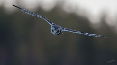I'll catch you... (MatsOnni) Tags: birds owls linnut shortearedowl asioflammeus pöllöt suopöllö