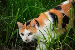 Wild cat in the Nature (tobiaspriwall) Tags: nature field cat nikon tiger like wildcat tobias housepet priwall d5200 tobiaspriwall