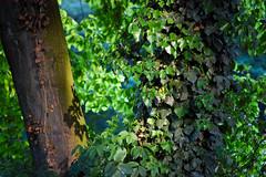 gegen gegenlicht (0) (friedrich vdL) Tags: park pattern outdoor natur cologne kln gelb grn dslr bltter baum muster gegenlicht zwillinge sdstadt rmerpark sonnenlicht farbfoto gelbgrn querformat grngelb ungleichezwillinge