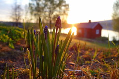 An evening in May (brittajohansson) Tags: trees light sunset plants sun flower sunshine garden evening spring warm dof outdoor may depthoffield grapehyacinth