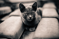 A little cat (Fe_Lima) Tags: blackandwhite bw cute beautiful beauty cat pb gato lovely pretoebranco