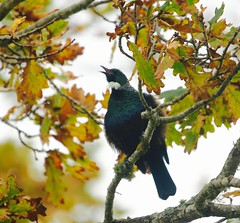Warbling in autumn delight (Psychic Insights) Tags: autumn newzealand sky plant black tree green nature animals gold outdoor feathers tui