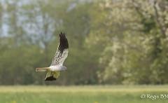 Un merveilleux planeur... (Régis B 31) Tags: accipitridés accipitriformes bird oiseau busardcendré vol circuspygargus rapaces explore