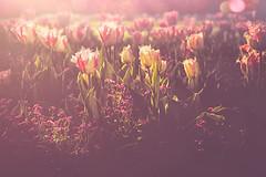 Tulips (RoCafe) Tags: pink flowers light nature garden purple tulips nikond600