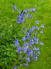Vronique bleue (chrdraux) Tags: jardin vert veronica botanique pelouse herbe vgtal vroniquebleue