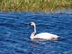 Trumpeter swan (Wicked Dark Photography) Tags: nature water birds wisconsin spring swan critter wildlife waterbird swans trumpeterswan