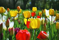 (Sameli) Tags: flowers flower nature colors suomi finland spring helsinki springtime