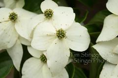 Kousa Dogwood (Tim Stinger) Tags: flowers flower nature beauty tim flora arboretum dogwood stinger morton mortonarboretum kousa naturesbeauty kousadogwood timstinger