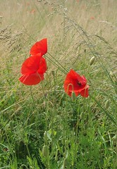 Champ de coquelicots (mamietherese1) Tags: ngc earthmarvels50earthfaves phvalue