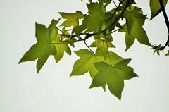 Green leaves (Smevin Paul - Thrisookaran !! www.smevin.com) Tags:  plants india green leaves paul photography leaf tamil ooty nadu smevin smevins thrisookaran