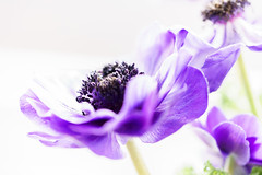Anemone (Photo-Passion.net) Tags: natur pflanze rosa lila gelb makroaufnahme blume makro naturfotografie makrofotografie