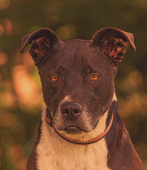 Jake (Cruzin Canines Photography) Tags: portrait dog dogs nature animal animals closeup canon outside mammal outdoors jake naturallight canine pit pitbull domestic tamron americanpitbullterrier hartpark domesticanimal pitbullterrier 5ds canon5ds eos5ds tamron28300mmf3563divcpzd canoneos5ds