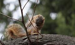 Squirrel, Cantigny Park. 39 (EOS) (Mega-Magpie) Tags: park usa tree nature america canon outdoors eos illinois squirrel branch outdoor wildlife dupage il wheaton cantigny 60d