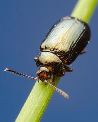 Shiny beetle (species?) (Lszl_F) Tags: blue black color macro green nature animal closeup insect nikon shiny dof small beetle iridescence antennae arthropod macrophotography d300 dcr250 nikond300