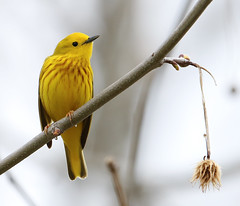 Yellow Warbler (rivadock4) Tags: new york newyork yellow ithaca warbler yellowwarbler