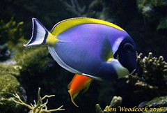 Powder Blue Tang (SausageArm) Tags: blue fish water aquarium nikon marine aqua pretty underwater tank salt powder salty aquatic reef reefs tang aquatics d90 18105mm