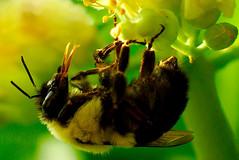 Bee Closeup (jeffb477) Tags: ontario canada macro nature animal closeup insect spring nikon bee d7000