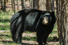 BlackBearMarked07 (1 of 1) (coldtrance) Tags: bear arizona black animal canon mammal outdoors wildlife blackbear canont3