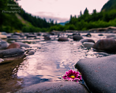 Wild Daisy. (Brendinni) Tags: blue trees wild white water yellow reflections river landscape rocks dof random bokeh low perspective magenta whiteriver daisy moment wildflower rainiernp voteyourpark