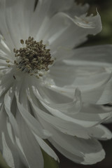 White Anemone 1 - May 2016 (GOR44Photographic@Gmail.com) Tags: white flower macro canon petals 100mm anemone stamen 100mmf28 canon100mm 60d gor44