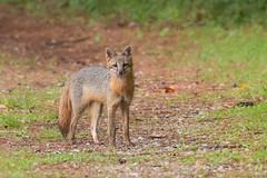 Gray Fox (stephaniepluscht) Tags: park nature flickr gulf alabama gray explore fox wetlands shores sportsplex 2016
