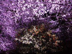 Chidorigafuchi III (Douguerreotype) Tags: city pink flowers light urban orange tree japan night dark cherry tokyo blossom cherryblossom sakura
